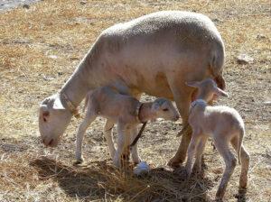 instalaciones-ganaderas-agroform-proyectos-ovejas