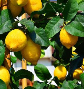 limoneros-murcia-consultoria-agraria-alimentaria-agroform